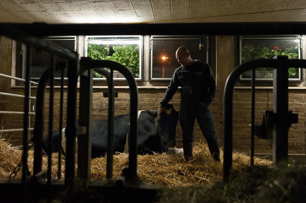 Strategi est la plus vielle vache de Patrick demont. A près de 20 ans, elle aura bientôt atteint le rare chiffre de 150 000 litres de lait de traite.